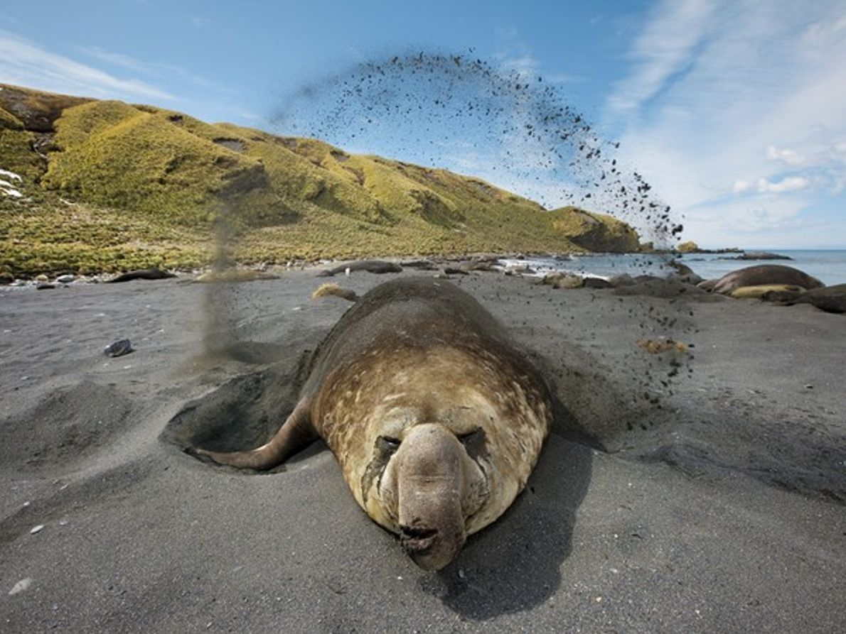 Elefante marino en tierra