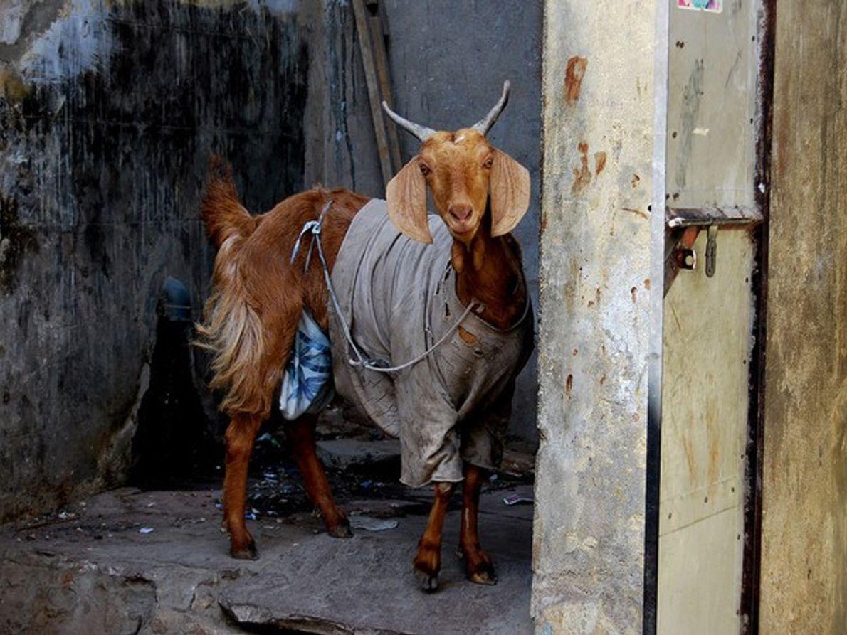 Cabra llevando ropa vieja