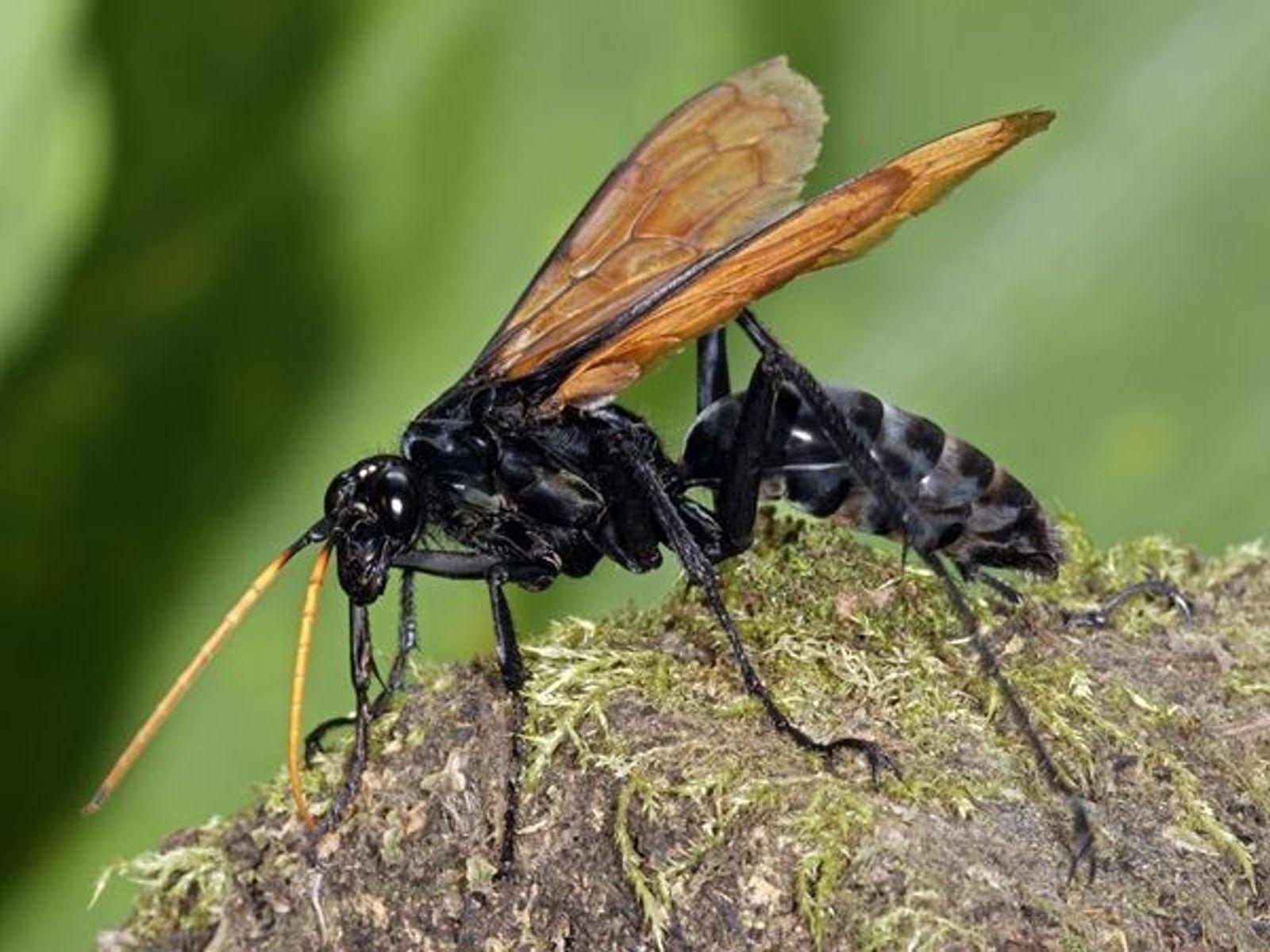 Tipos de abejas negras