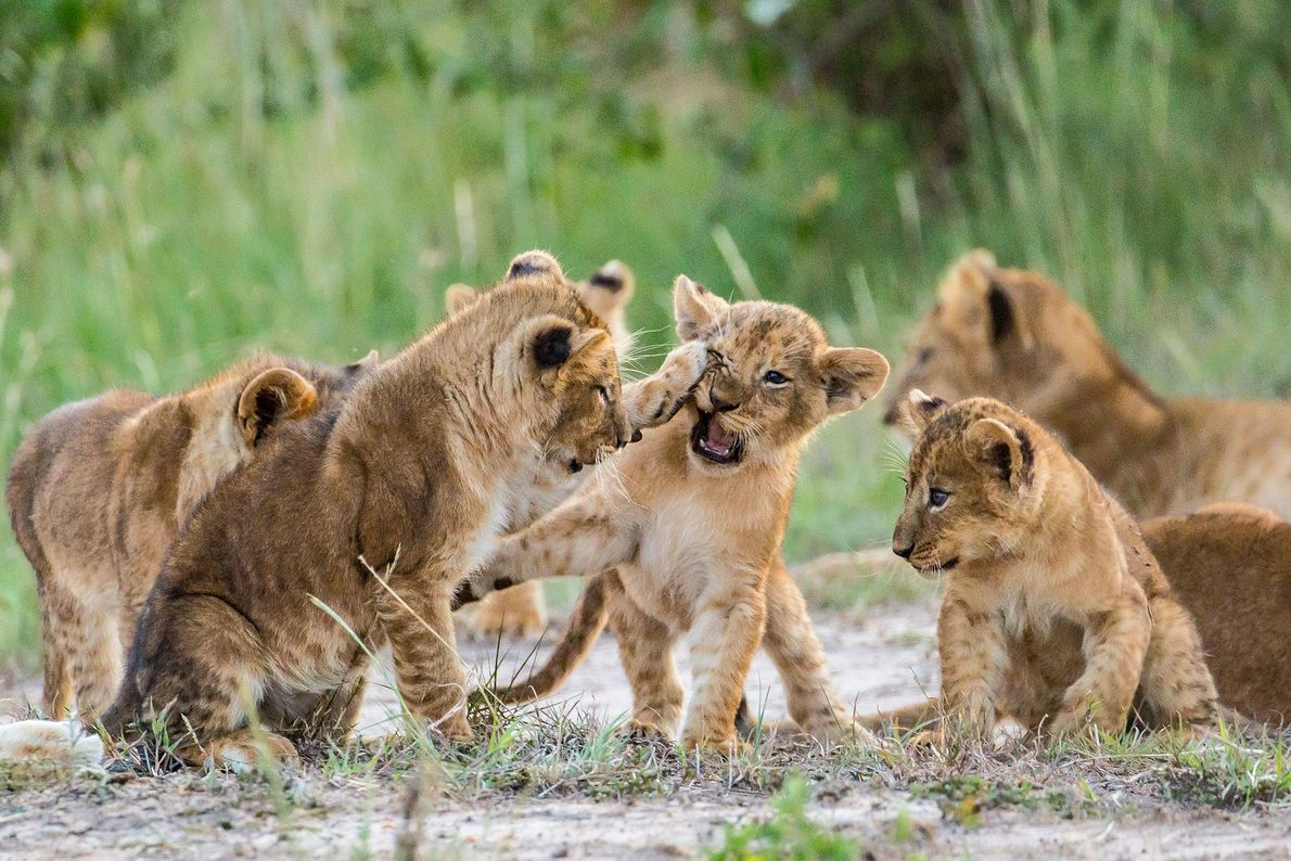 Lion cubs play fight in Kenya.