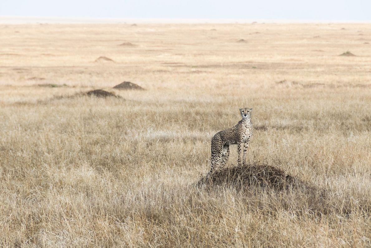 Cheetah. Ngorongoro, Arusha, Tanzania