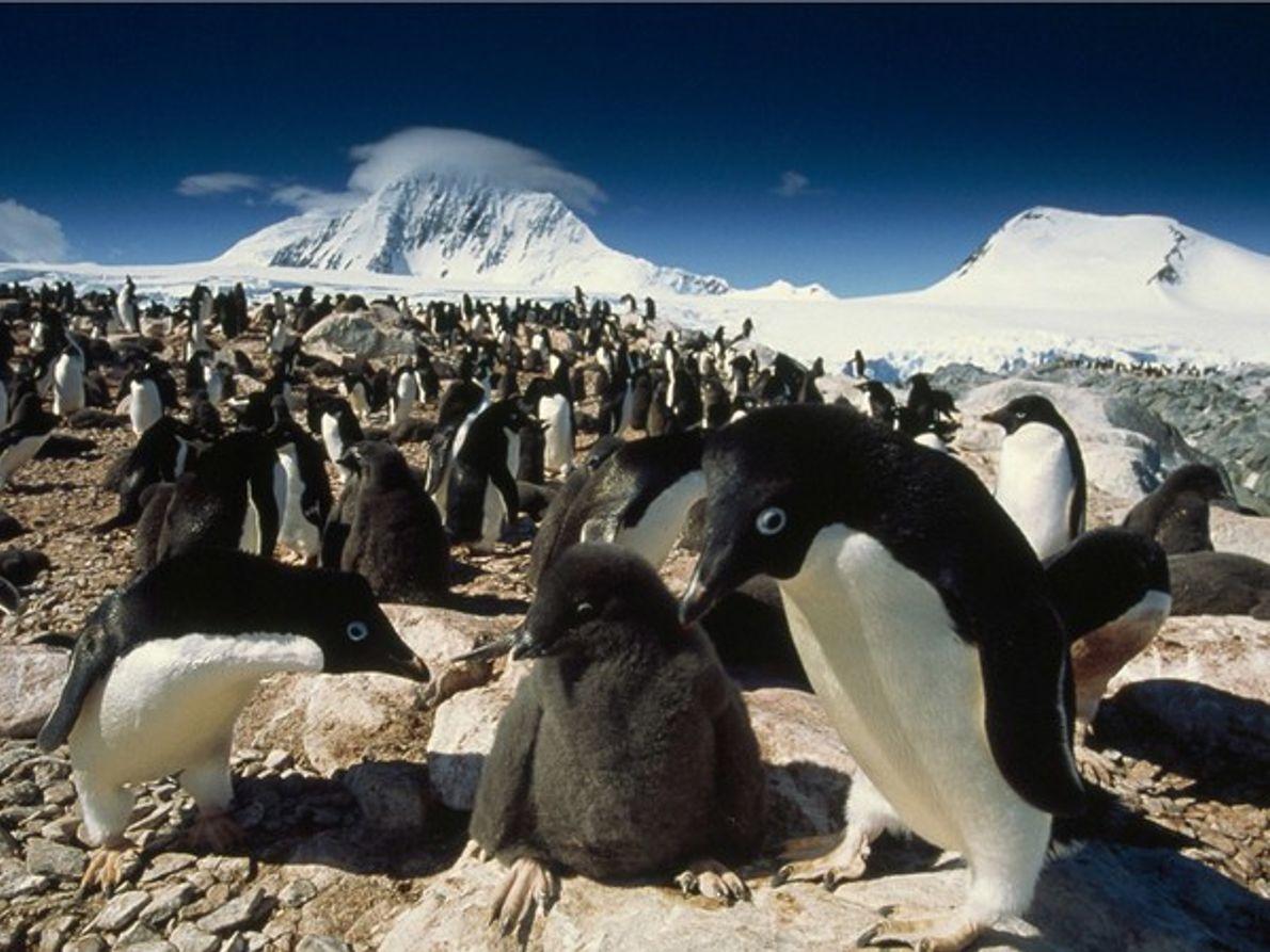 Guardería de pingüinos Adelaida