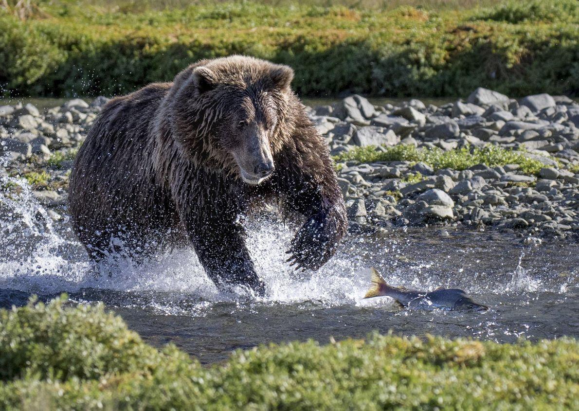 Un oso pardo persigue a un salmón