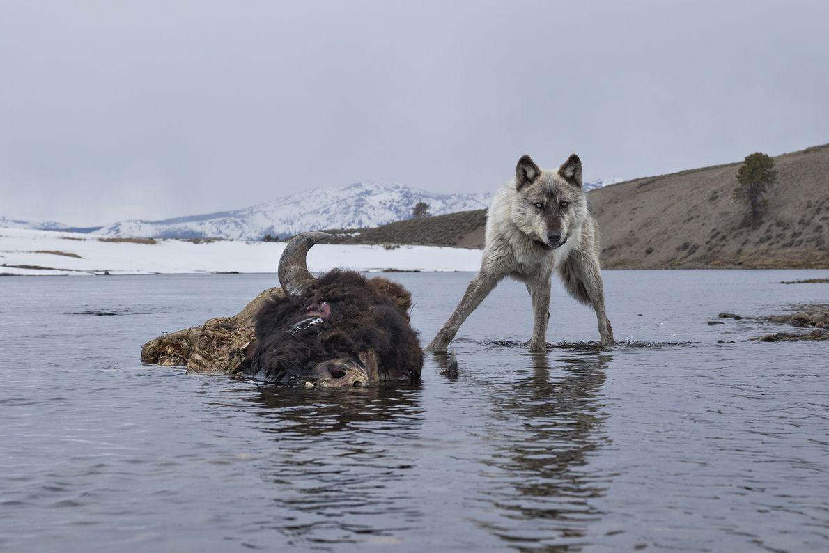 Lobos, parque nacional de Yellowstone