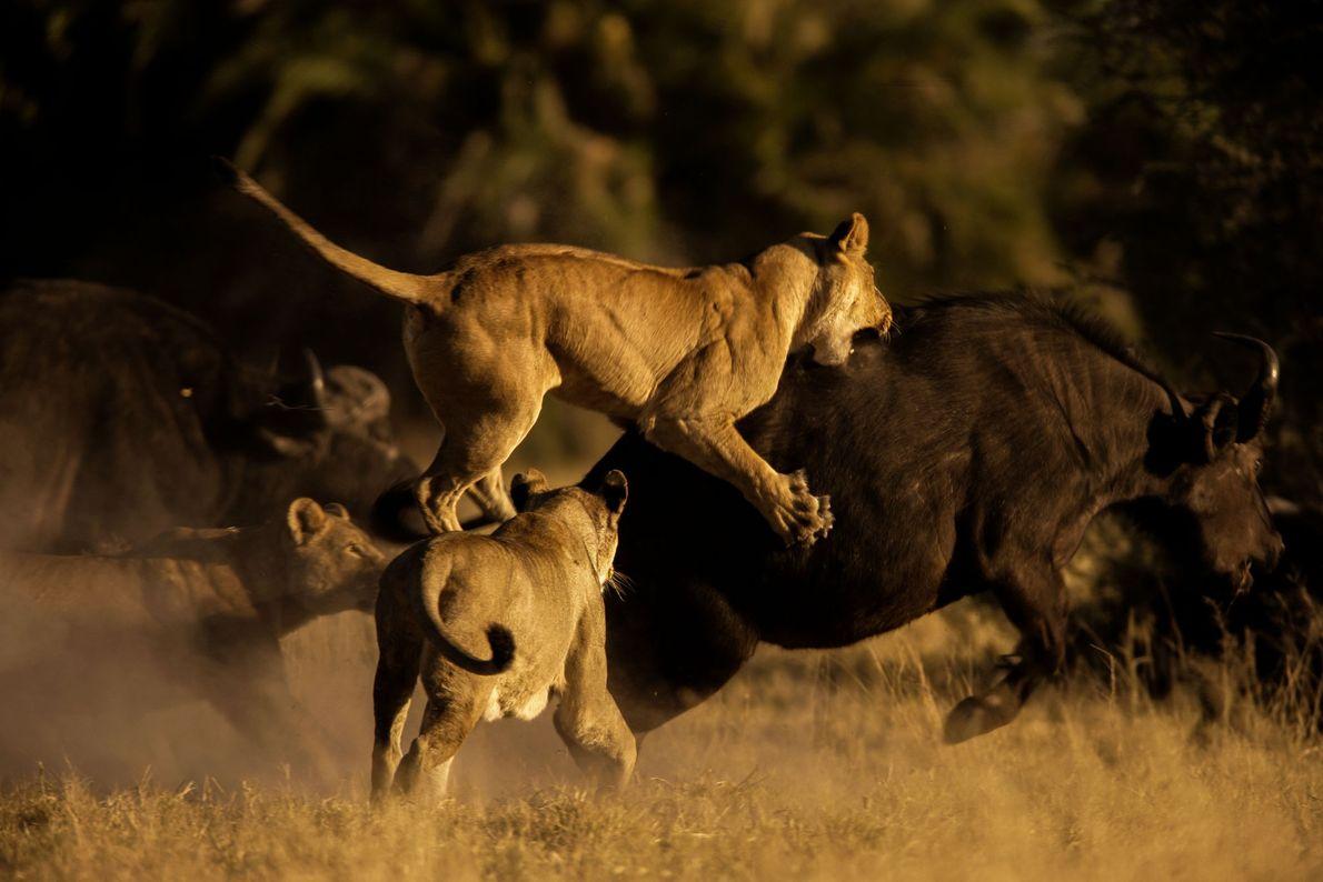 Leonas africanas