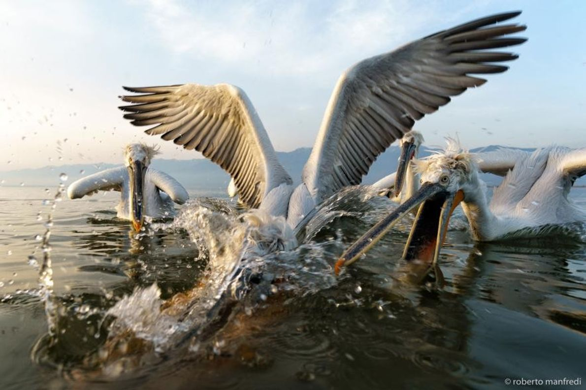 Pelícanos ceñudos