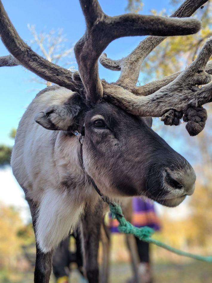 Un reno en el círculo polar ártico. Los noruegos creen que besar a un alce trae ...