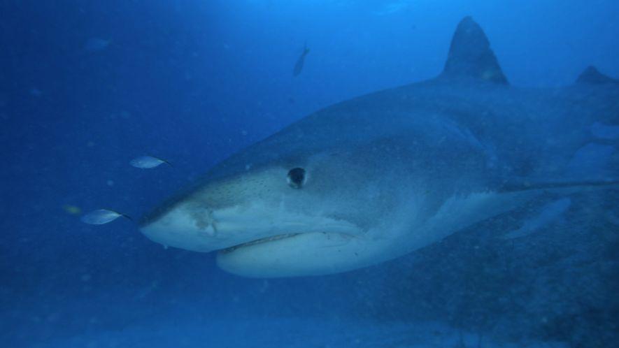 Tiburones sarda: los cubos de basura del mar