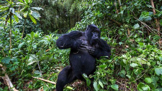 Un gorila de montaña macho se golpea el pecho