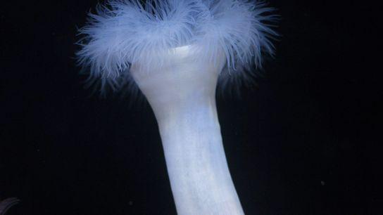 Anémonas plumosas gigantes