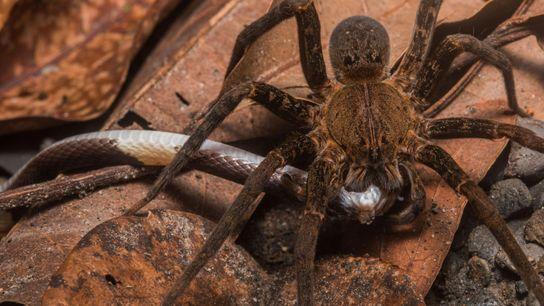 Una gran araña bananera se alimenta de una serpiente