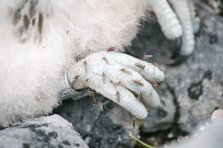 Polluelos de gerifalte