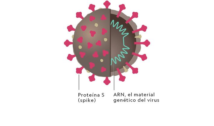 Estructura del coronavirus