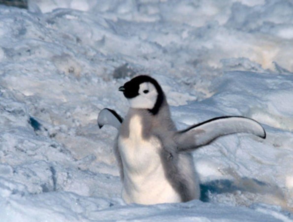 Cría de pingüino emperador
