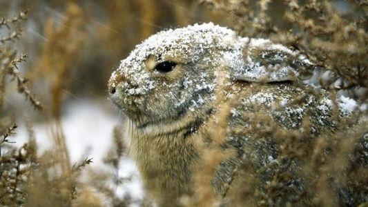 Conejo de cola de algodón