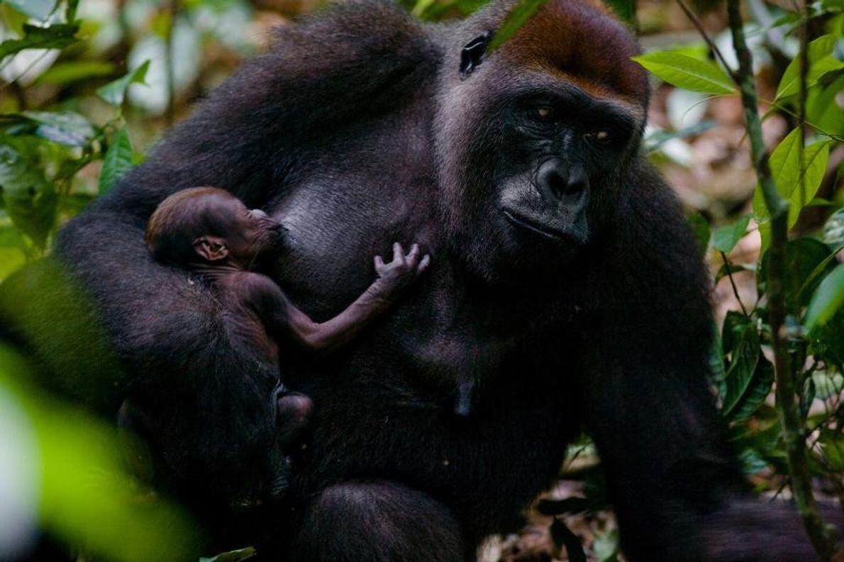 Gorila occidental de llanura