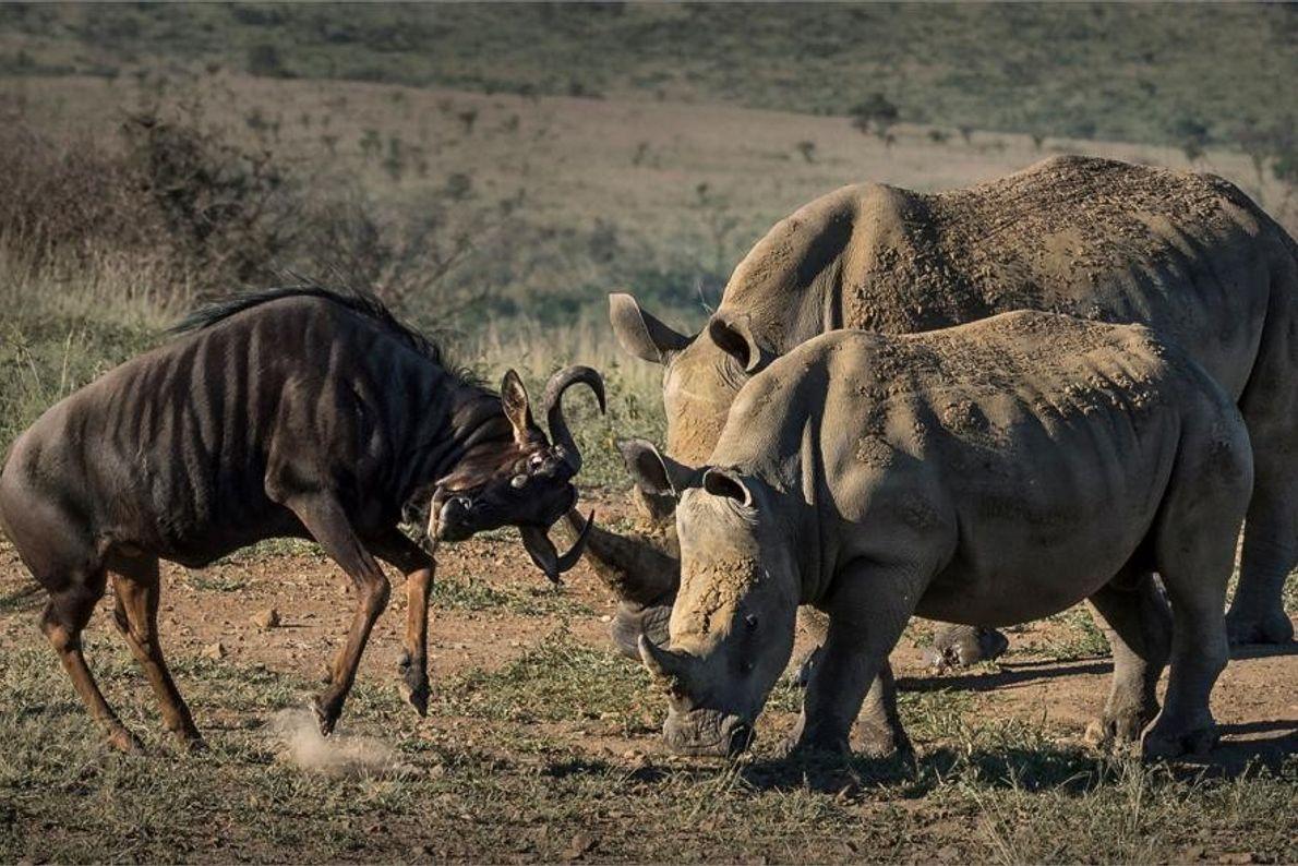 Cría de rinoceronte y ñu