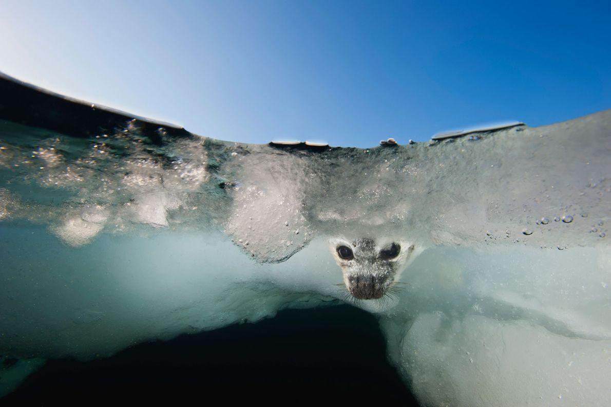 Cría de foca pía