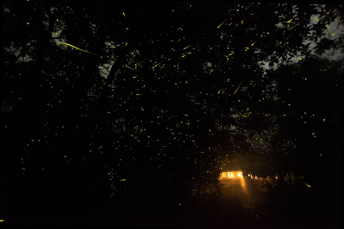 Fireflies signal an oncoming monsoon in the Western Ghats.