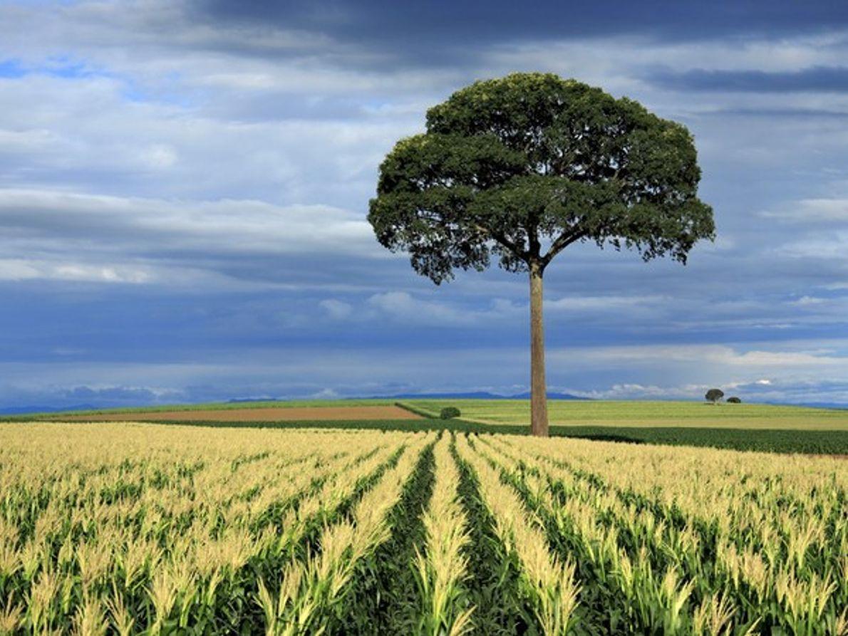 Árbol en un campo de maíz