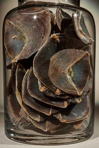 Escama de pangolín