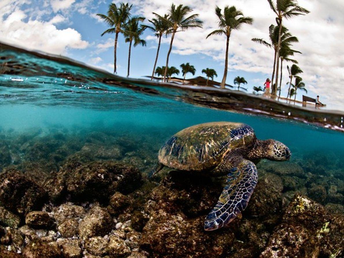 Tortugas de mar verdes nadando bajo el agua