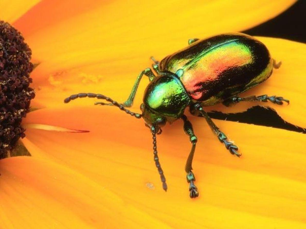 Carabajo Chrysomelidae