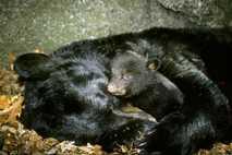 Osos hibernando