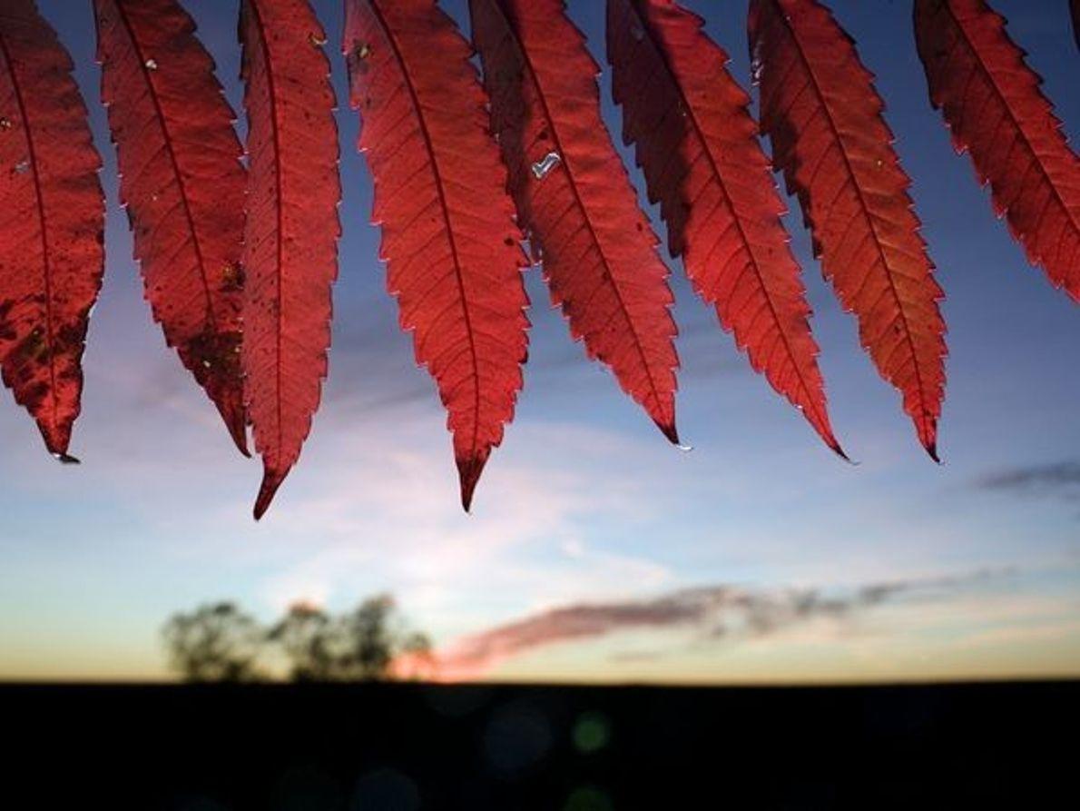 Zumaque de hojas