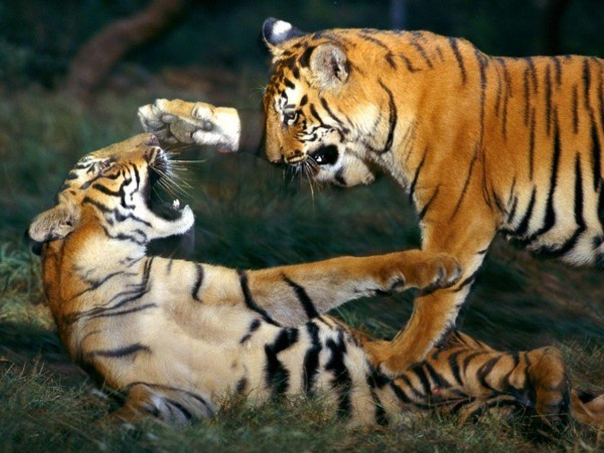 Conoce el mundo de los tigres