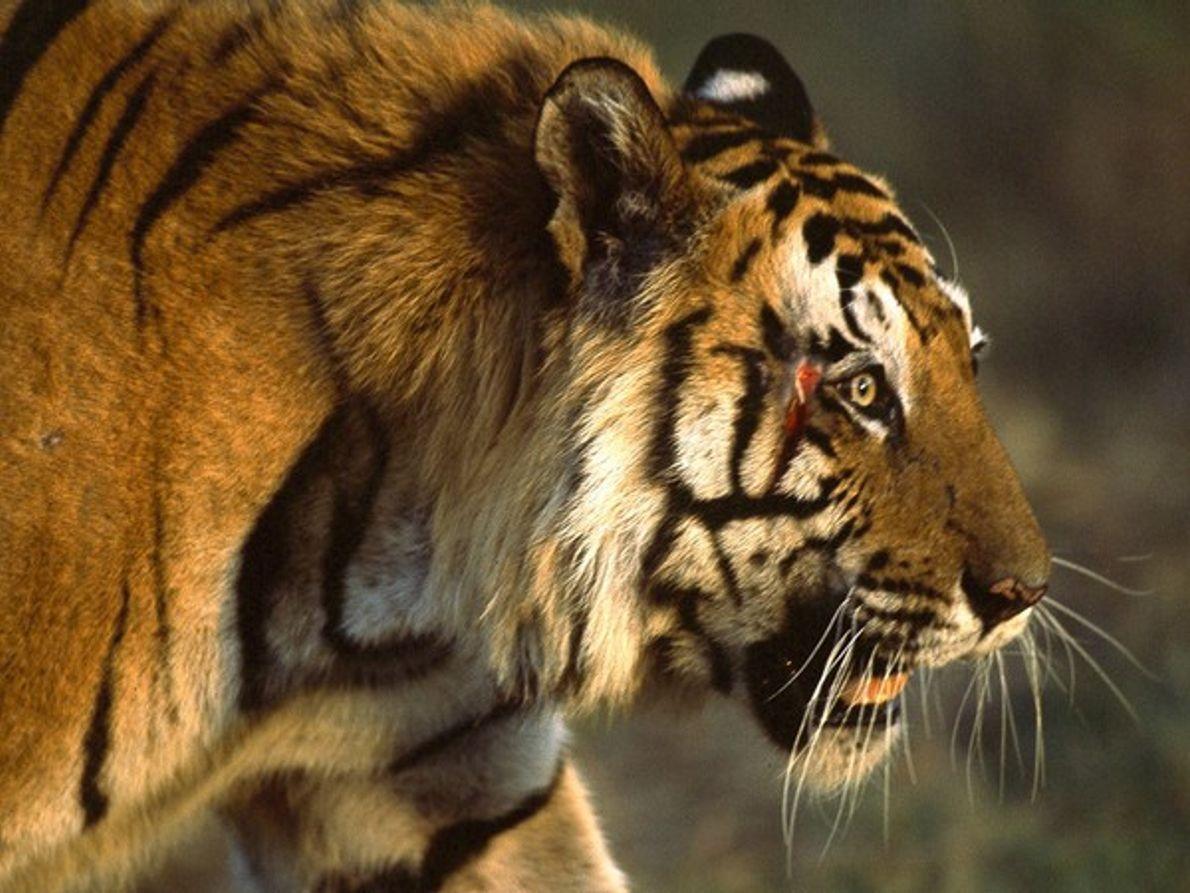 Tigre de Bengala hembra