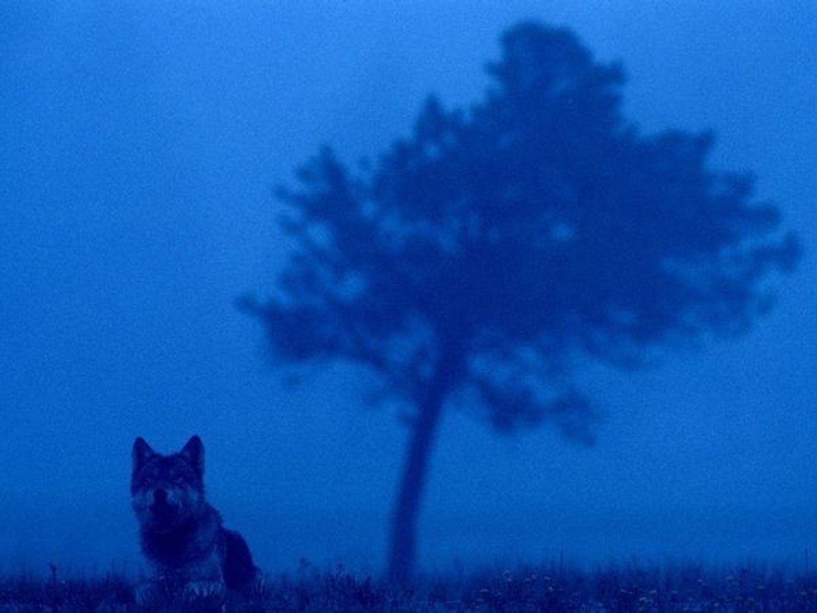Lobo de Yellowstone.