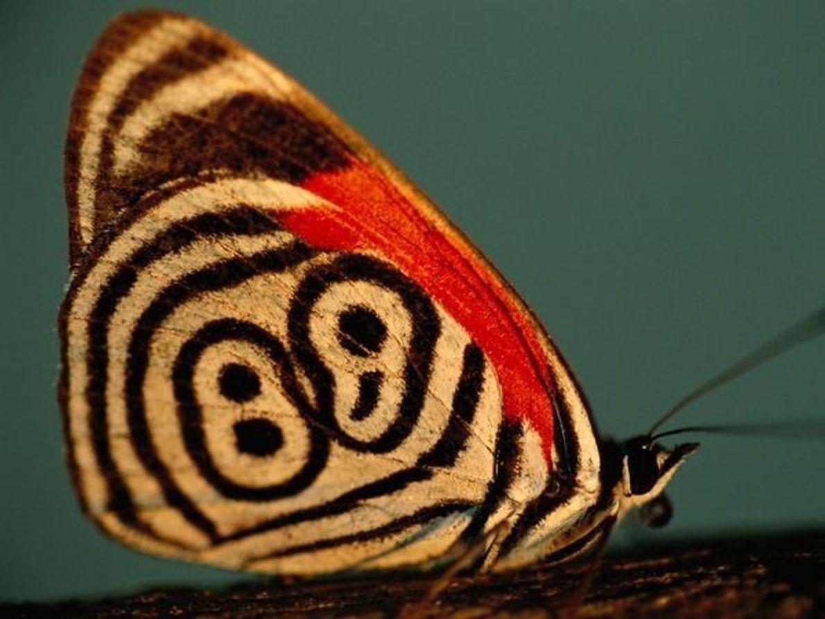 Mariposa ochenta y ocho