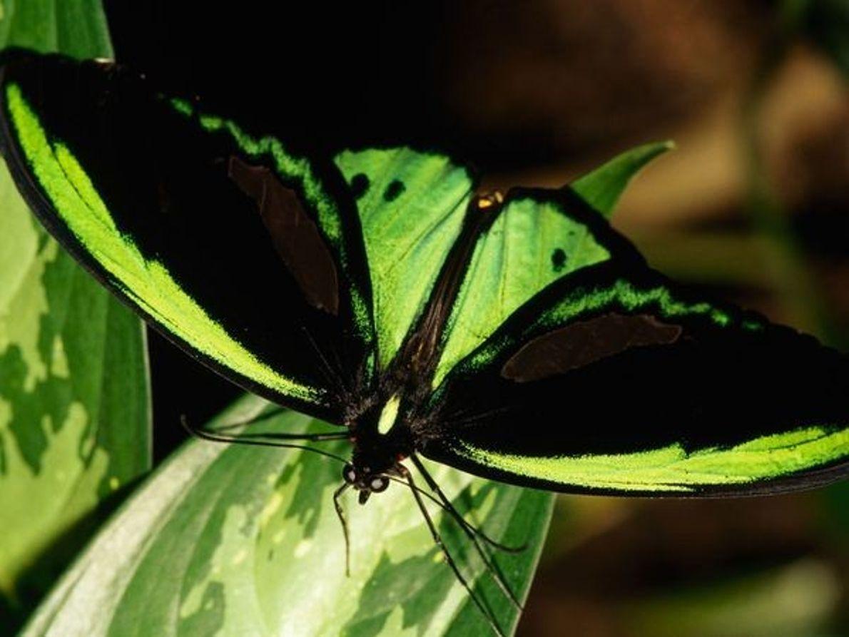 Mariposa ala de pájaro