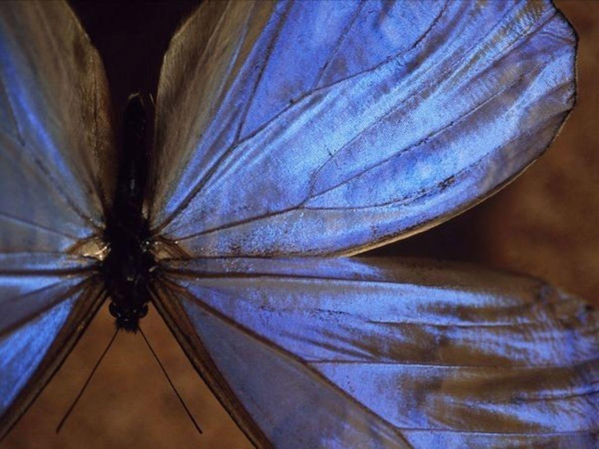 Mariposa morpho azul macho