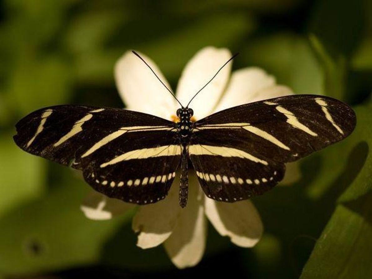 Mariposa alas de cebra