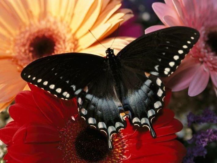 Mariposa spicebush swallowtail