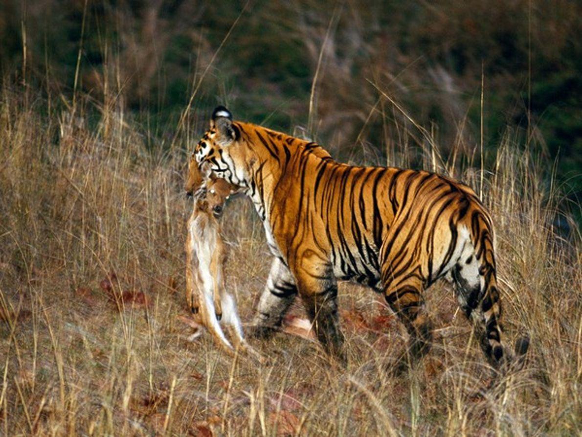 Tigre de Bengala con presa