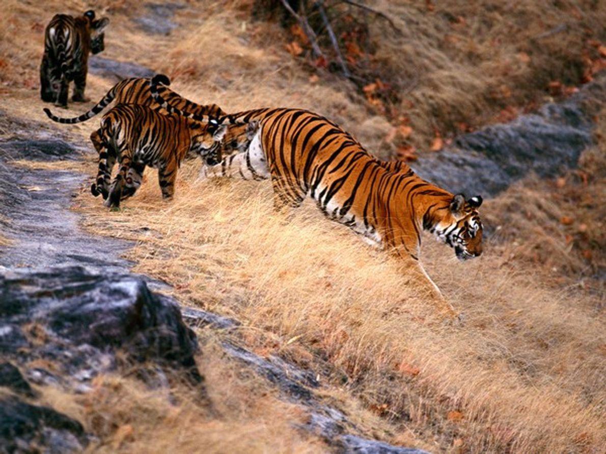 Tigre de Bengala y cachorros