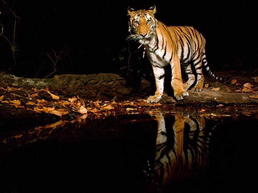 Tigre de Bengala en la nocheLa caza puede ser peligrosa incluso para un depredador poderoso como …