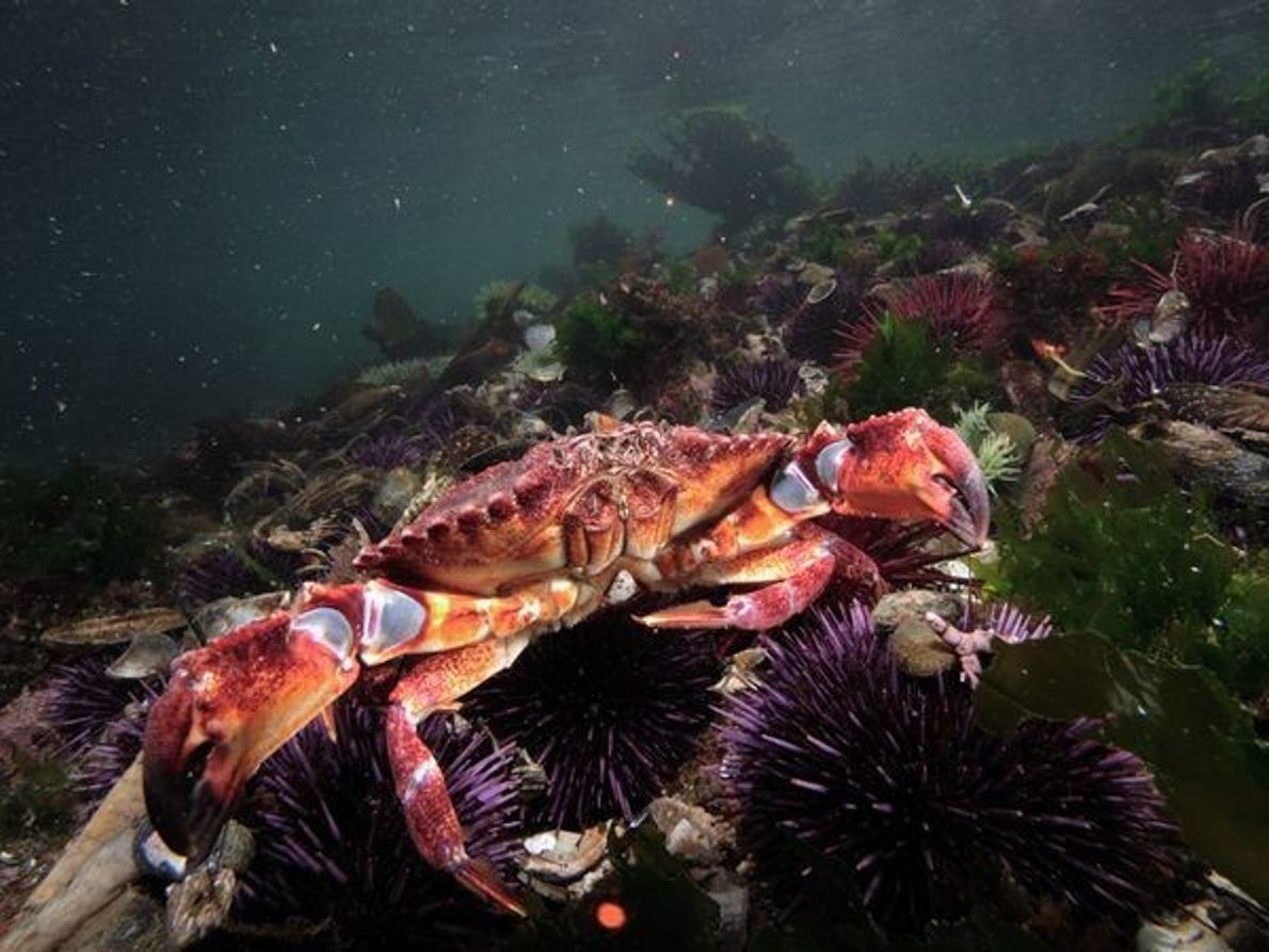 Cangrejo y erizos de mar