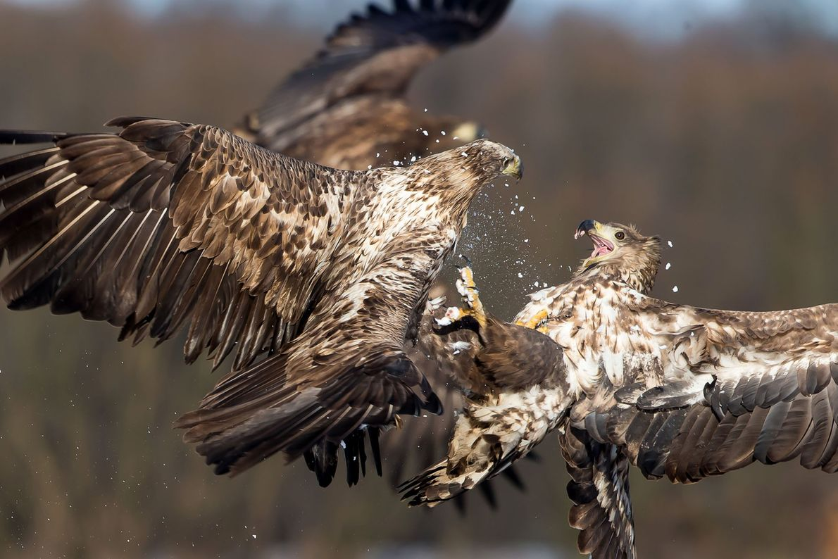 White-tailed eagles fight in midair.