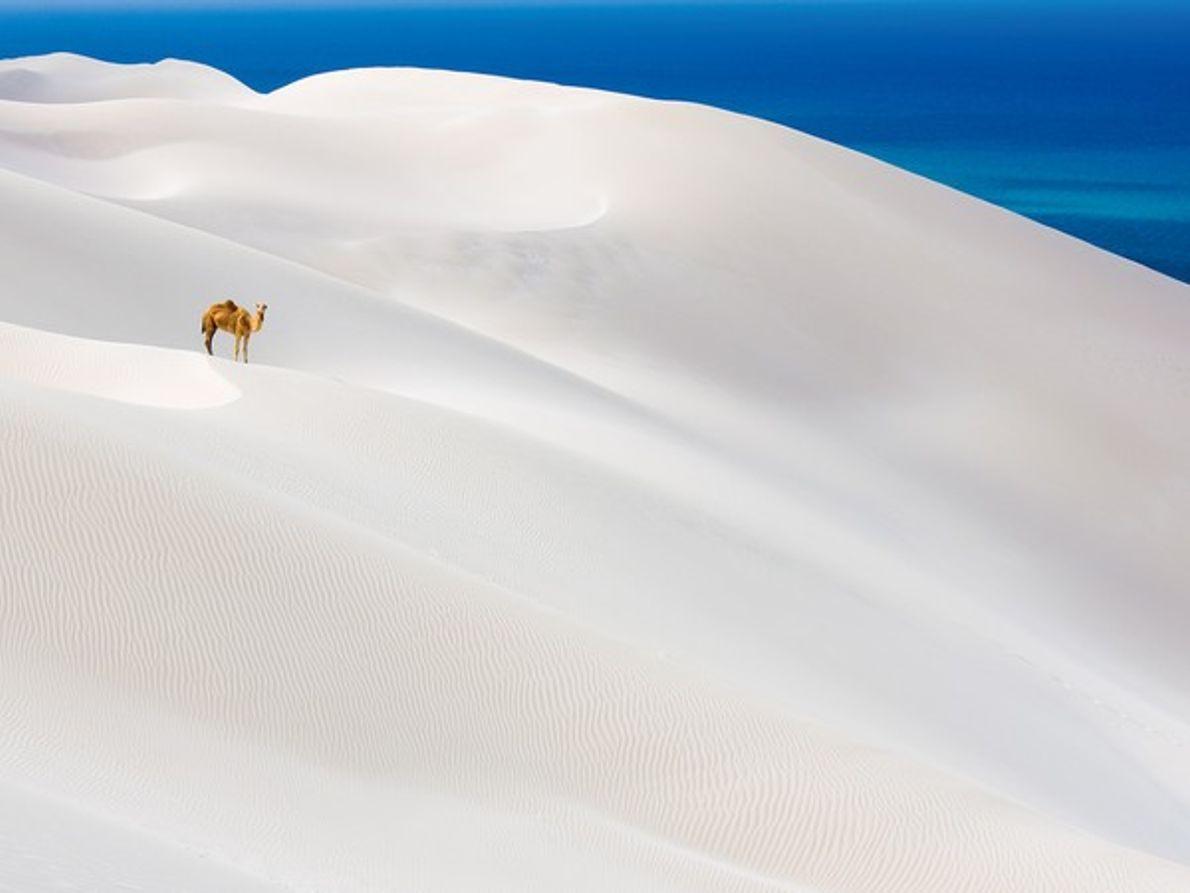 Camello sobre dunas blancas