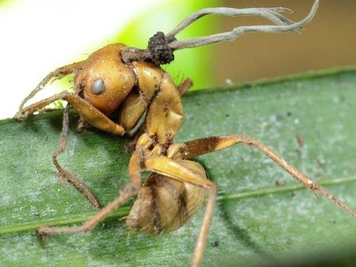 Cabeza de hormiga