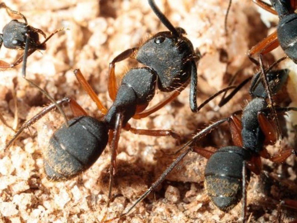 Hormigas contaminada por el hongo
