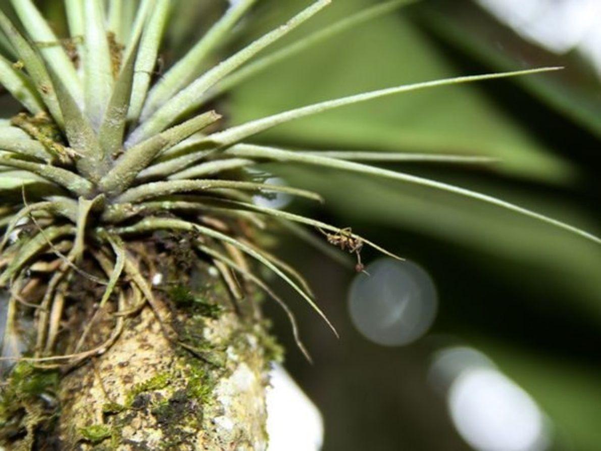 Cadáver de hormiga  zombie colgada boca abajo