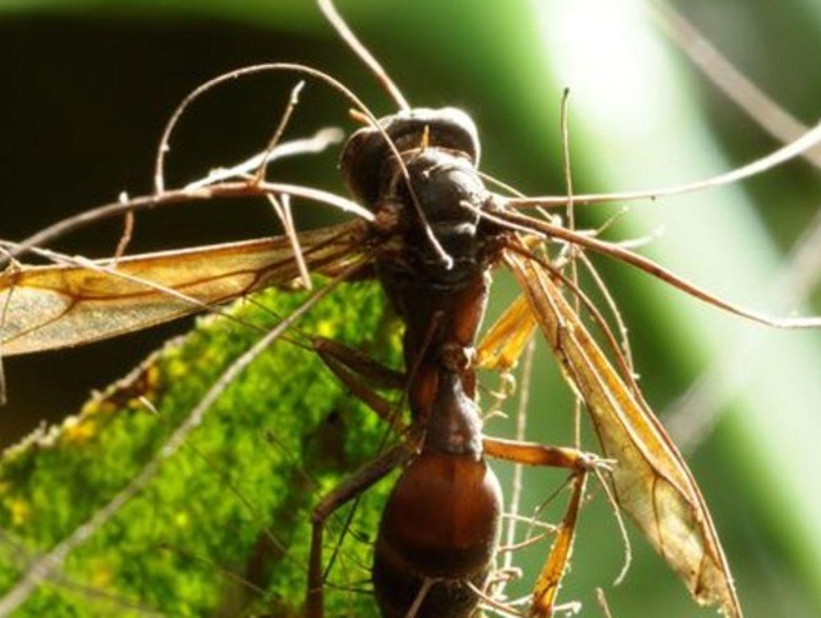 Avispa afectada por el hongo