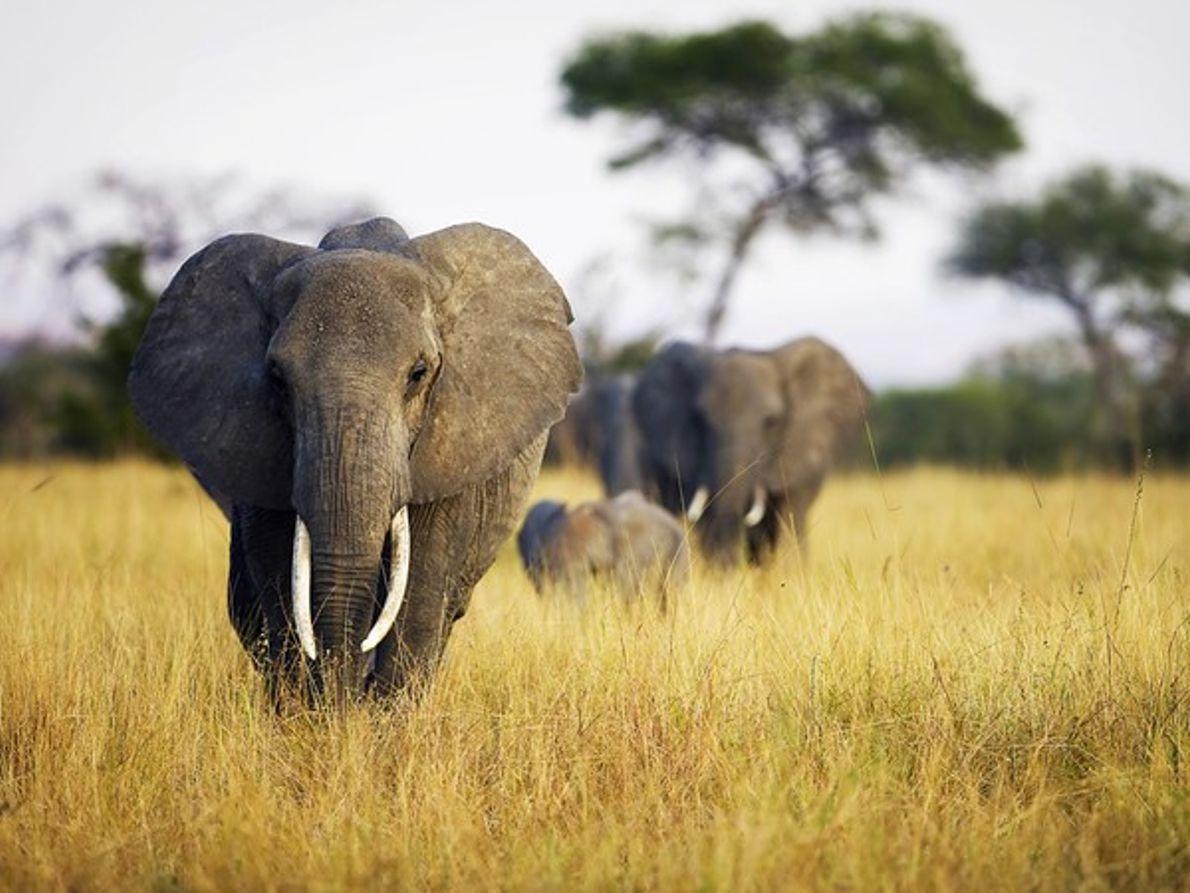 Manada de elefantes en la hierba