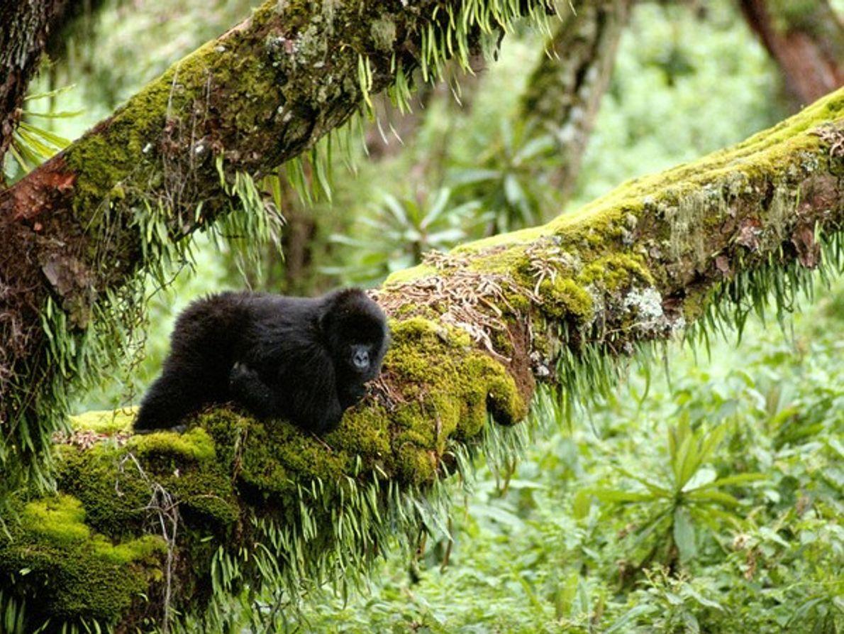 Gorila de montaña, Congo