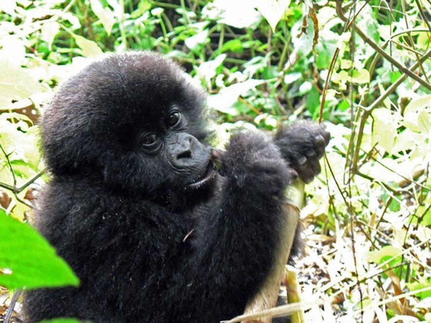 Este bebé gorila de montaña, bautizada como Mutazimiza por los guardaparques del Parque Nacional de Virunga, ...